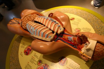 Science body dissection model